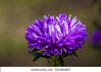 Violet Aster blooming in the flower garden. Large alpine aster growing in the flower bed. Background with colorful aster flower. Bright Aster in the summer garden as background card or wallpaper.