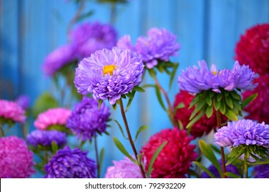 Violet Aster blooming in flower garden on old blue wooden fence background. Large purple aster growing in flower bed. Background with colorful aster flowers. Purple plant heads & leaves in garden.