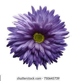 Violet  aster flower isolated on white background with clipping path.  Closeup no shadows.  Nature.
