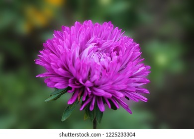The violet aster is resting and basking in the warm sun. Violet aster on a light green isolated background