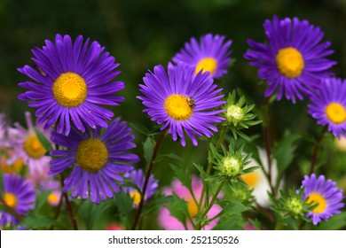 Violet Asters blooming in the garden