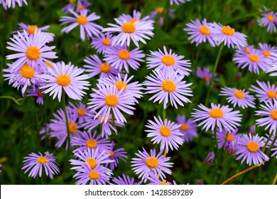 Violet asters blooming in the garden. Beautiful flowers.