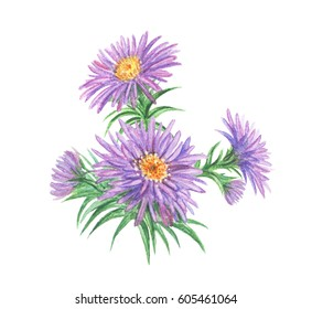 Violet autumn asters, watercolor drawing.