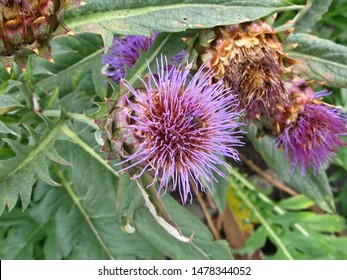violet ball of cardoon flower