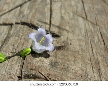 Violet Bearded bellflower ( Campanula barbata ) sprouts from the old cut down tree trunk . Young bellflower growing
