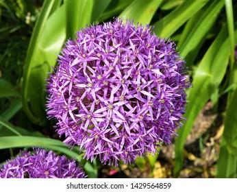 Violet beautiful blooming allium flower