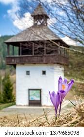 Violet blooming flower - Crocus. Lookout called Veža in village Velke Borove, Slovakia - Shutterstock ID 1379685098