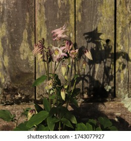 Violet blooms on wild columbine (Aquilegia vulgaris) cast a fierce shadow on old wooden fence on a sunny spring day in May 2020.