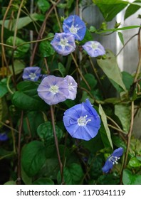 The violet blue flowers of Skyblue Clustervine (Jacquemontia violacea) plant climbers growing on support. They bloom throughout the year.