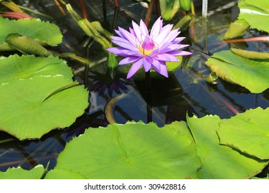 """Violet blue hybrid """"Waterlily"""" flower in Munich, Germany. Its scientific name is """"Nymphaea Director George T. Moore"""" and it is a tropical flower."""