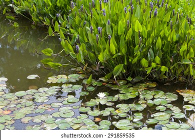 Violet blue Pontederia plant growing in the pond. Plant is also known as Blue Pickerel weeds. It is found in shallow water or on mud.