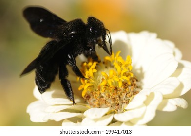 The violet carpenter bee, Indian Bhanvra (Xylocopa violacea) on a white zinnia flower with blur background
