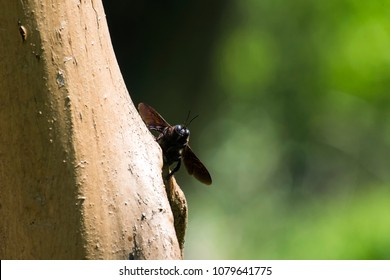 Violet carpenter bee peeks out from behind the tree (Xylocopa violacea)