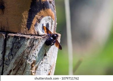Violet carpenter bee sits on a wooden log (Xylocopa violacea)