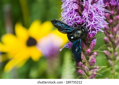 "Violet carpenter bee sometimes called "" black bee "" came on our garden"