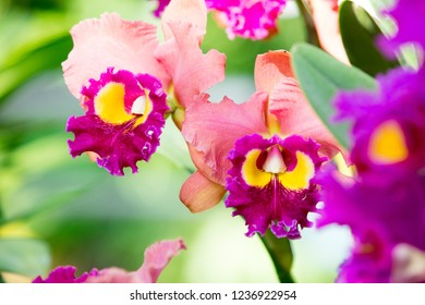 Violet cattleya orchid flower