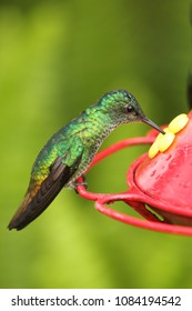 Violet chested Sternoclyta cyanopectus hummingbird perched on red feeder, only found in Venezuela and Clolombia South america