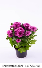 A violet chrysanthemum in a pot