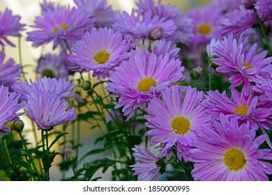 violet chrysanthemums in a garden against the sky