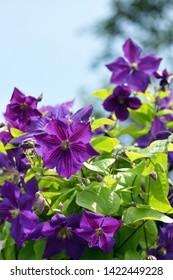 Violet Clematis flowers in garden