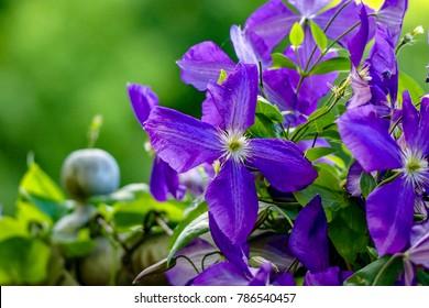 Violet Clematis on Vine