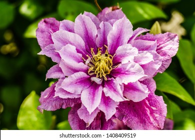 Violet Clematis, Pink filled Clematis