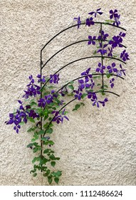 Violet Climatis Romantica in full bloom, climbing it's way up along a flower support in iron, against a bright plastered wall.