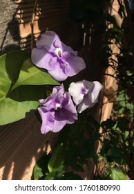 Violet color Brunfelsia flower in summer