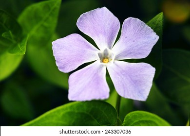 Violet color periwinkle flower isolated in the nature