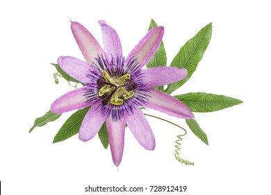 violet colored passion flower isolated on white
