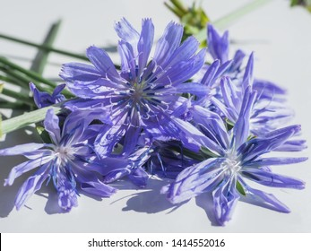 Violet Common chicory flowers isolated on a white background. Cichorium intybus close up. Agricultural edible plant of chicory blue flowers cultivated for herbal drink - natural inulin. Coffee weed.