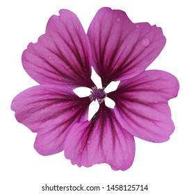 "Violet ""Common Mallow"" flower (Malva Sylvestris) isolated on white background"