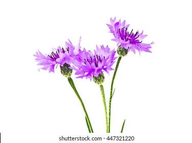 Violet Cornflower - Centaurea on a white background