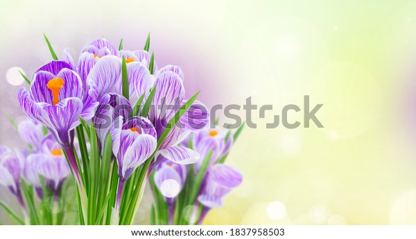 Violet crocus flowers bouquet isolated on white background