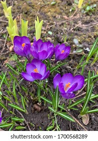 Violet crocus flowers in park