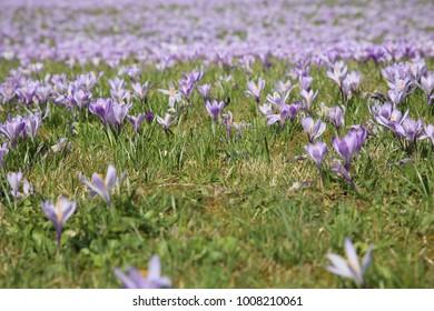 violet crocus at crocus grasslands Drebach, Saxony