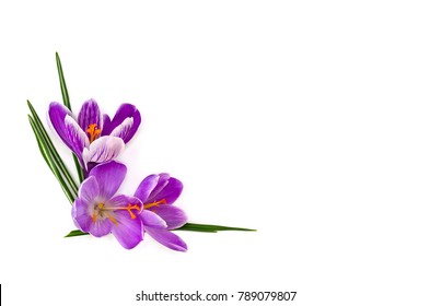 Violet crocuses (Crocus vernus) on a white background with space for text. Top view, flat lay.