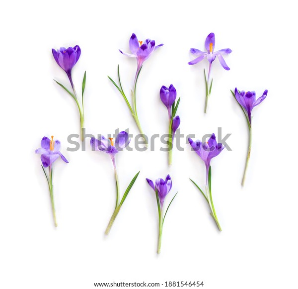 Violet crocuses on a white background. Spring flowers. Top view, flat lay