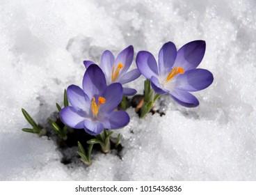 violet crocuses with snow