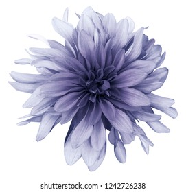 Violet dahlia  flower white  background isolated  with clipping path. Closeup. For design. Nature.