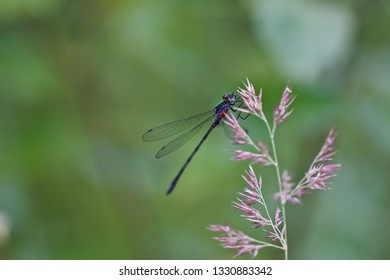 A violet damselfly perched on a pale violet herb (insects of Western Siberia).