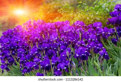 Violet flover meadow in susnet light