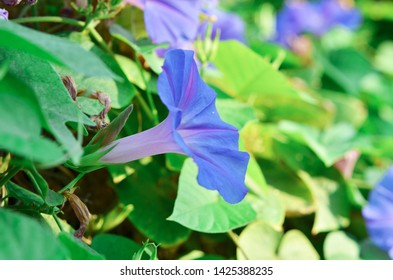 Violet flower bindweed close up on a background of green leaves. - Image