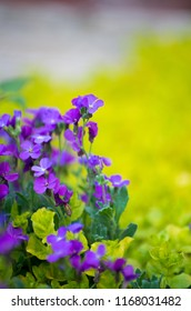 Violet flower blossoms