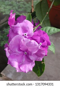 violet flower of Brunfelsia pauciflora tropical shrub
