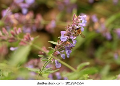 Violet flower catnip in ecofriendly rustic home garde. Nectar source plant friendly to bees.