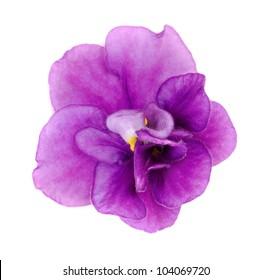 Violet flower closeup on white background