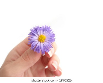 violet flower in a hand over white background