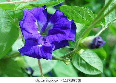 Violet flower as Nutrition & Thai herb