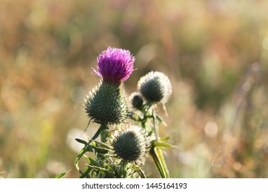 Violet flower on a green stem (Cirsium vulgare) on the dawn, selective focus
